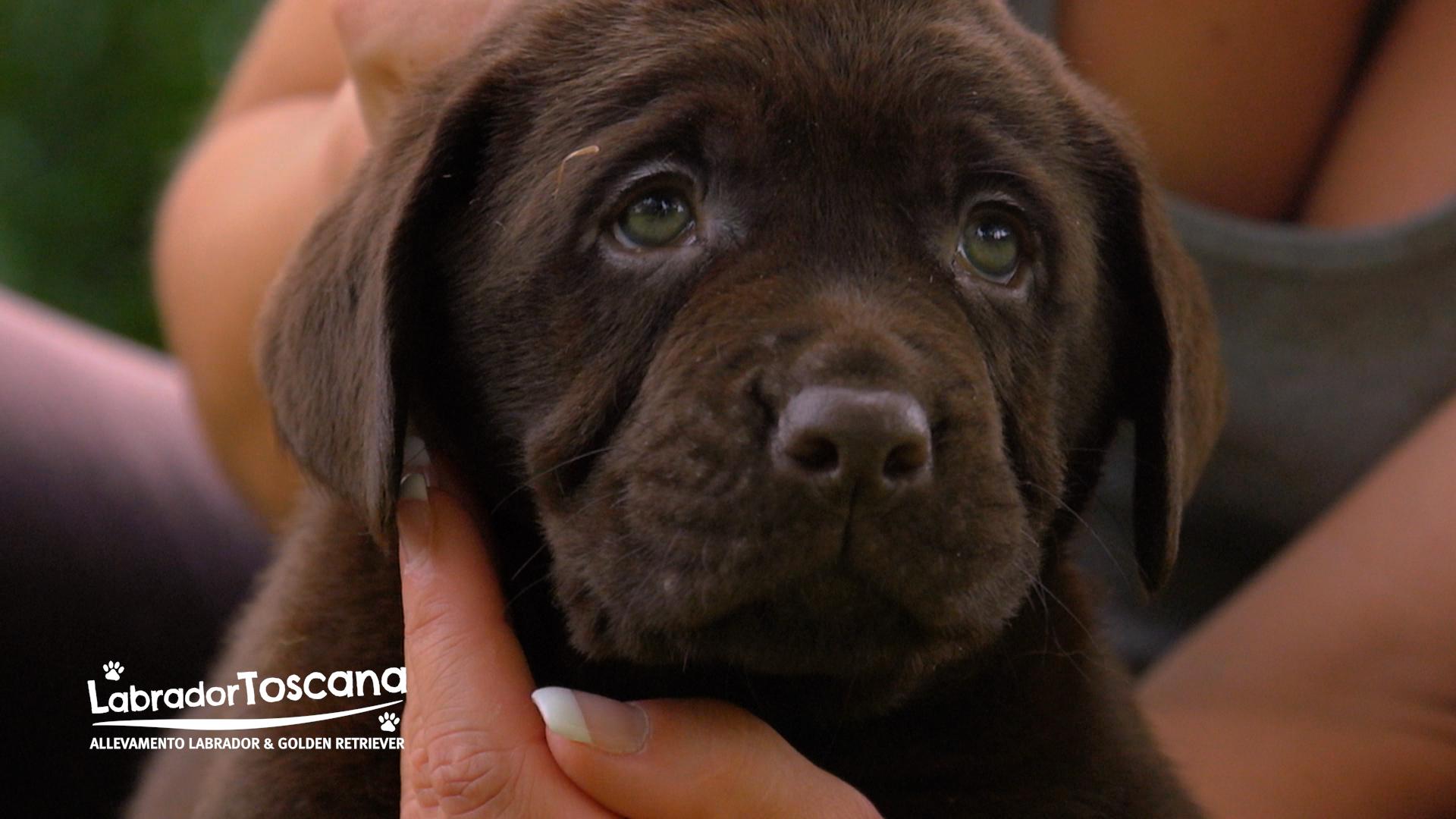 Home Labrador Toscana Allevamento Labrador E Golden Retriever