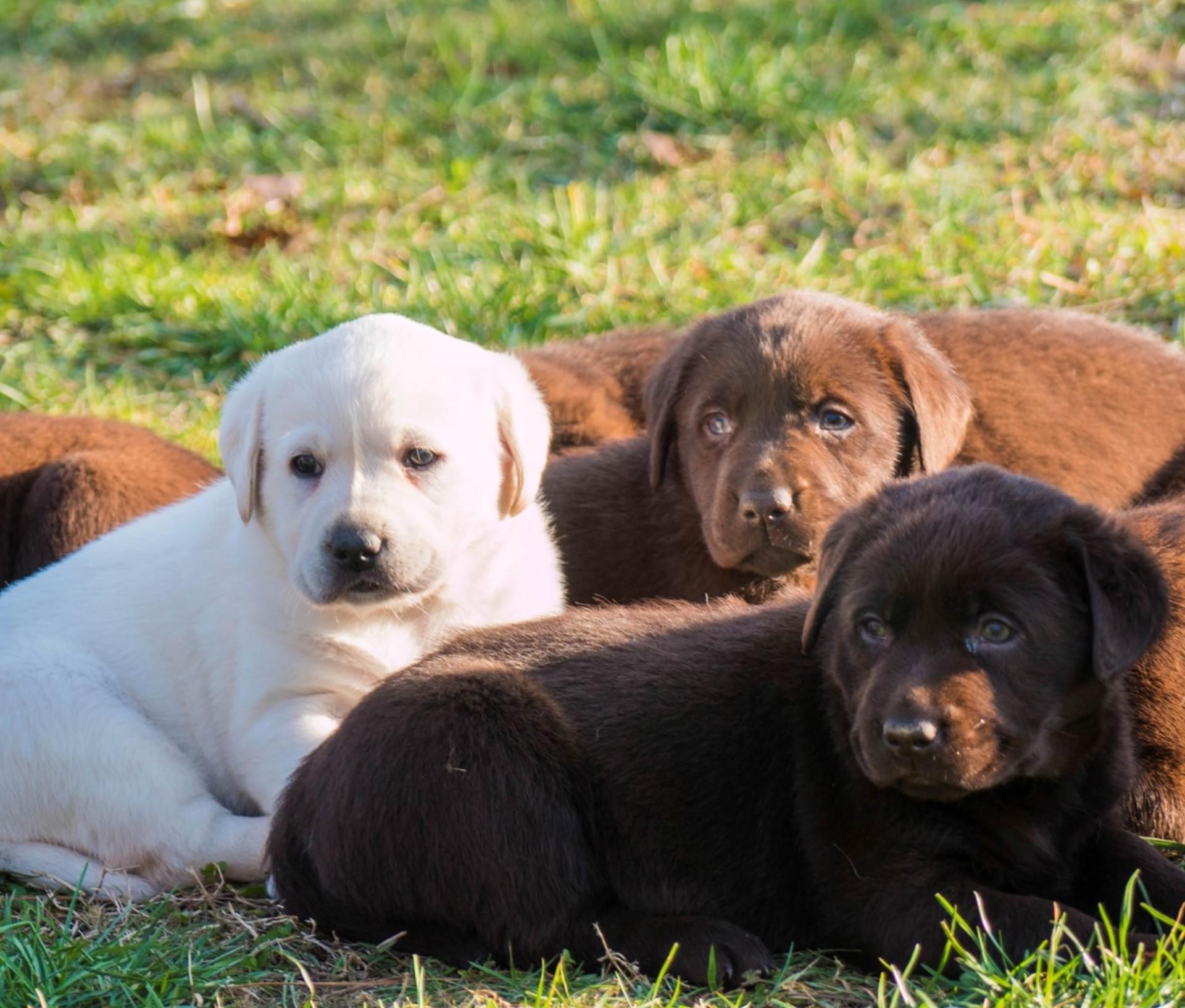 Home Labrador Toscana Allevamento Labrador E Golden